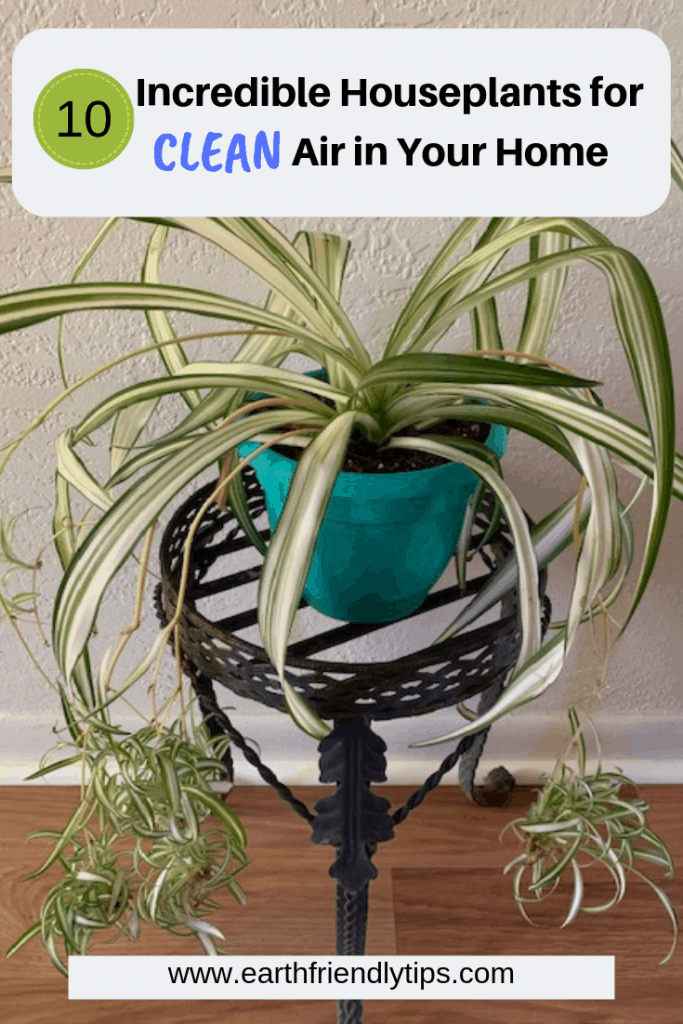 Spider plant with text overlay 10 Incredible Houseplants for Clean Air in Your Home
