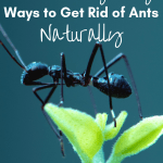 Close up of ant with text overlay 8 Unbelievably Easy Ways to Get Rid of Ants Naturally