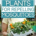 Woman holding box of geraniums with text overlay The Best Plants for Repelling Mosquitoes